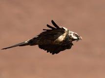 Brodatego sępa latanie past z skrzydłami i ogonów piórkami w pełni przedłużyć Obraz Stock