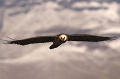 Brodatego sępa latanie w kierunku ciebie z skrzydłami outstreched i śnieżnymi górami w tle Obrazy Stock