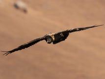 Brodatego sępa latanie z skrzydłami przedłużyć i kłoszenie zmniejszający się Obraz Royalty Free
