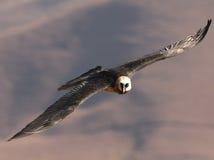 Brodaty sęp z skrzydłami szeroko rozpościerać Obrazy Stock