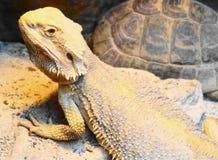 Brodaty smok i tortoise Zdjęcie Royalty Free