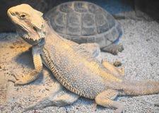 Brodaty smok i tortoise Zdjęcie Stock