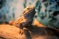 Brodaty smok, jest gatunki agamid jaszczurka Fotografia Stock