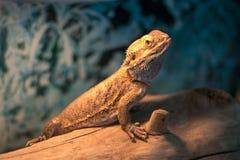 Brodaty smok, jest gatunki agamid jaszczurka Obraz Royalty Free
