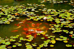 Brodcaded carps pond Stock Images