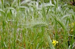 Brodda gräs i droppar av dagg på suddiga fläckar för en grön bakgrund Royaltyfri Bild