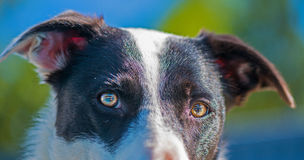 Broder Collie Eyes. A border collie looking pensive Stock Photography