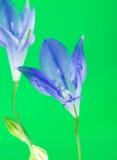 Brodiaea Blauwe Bloem Stock Afbeeldingen