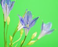 Brodiaea Flower Stock Photo