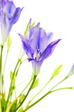 Brodiaea Flower Stock Photos