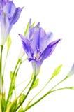 Brodiaea Flower Stock Photos