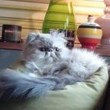 Brodie il gatto persiano Fotografia Stock