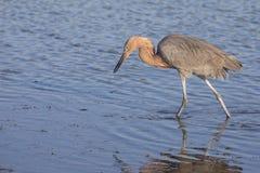 Brodzący Czerwonawy Egret zdjęcia stock