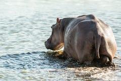 Brodzący hipopotam Zdjęcia Royalty Free