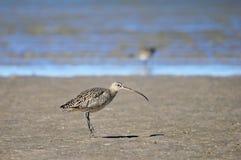 Brodziec, Tringa ptak w Baj Kalifornia, Meksyk zdjęcia royalty free