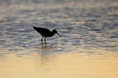 Brodziec, Tringa ptak w Baj Kalifornia, Meksyk zdjęcie stock