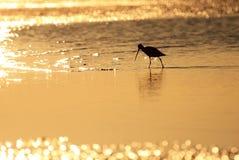 Brodziec, Tringa ptak w Baj Kalifornia, Meksyk obrazy royalty free