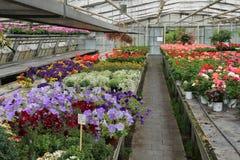 Broeikas met bloeiende geranium in verschillende kleuren stock fotografie
