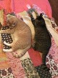 Broer Cats Sleeping Together op Dekbed stock afbeelding