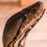 Broghammerus reticulatus Fotografering för Bildbyråer