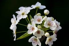 Brogujący makro- kwiat z szarańczą Zdjęcia Stock