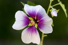 Brogujący makro- kwiat Zdjęcia Stock