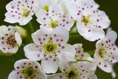 Brogujący makro- kwiaty Zdjęcia Stock