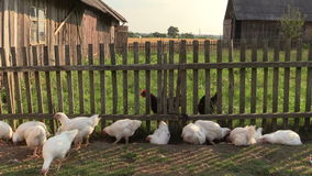 Broiler chicken and black hen looking for food in farm yard stock video footage