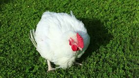 Broiler chicken walks on a green lawn stock video footage