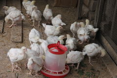 Broiler chickens in the henhouse eat. From the trough Stock Images