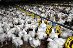 Broiler chickens near feeders_17. Broiler chickens on a modern poultry farm near feeders with feed stock images