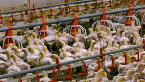 Broiler chickens on a poultry farm stock video