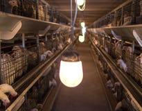 Broiler gospodarstwo rolne dla mięsa, przemysł, farma drobiu, młodzi zwierzęta obraz royalty free