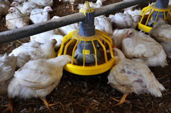 Broiler kurczaki zbliżają feeders_7 zdjęcie stock