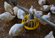Broiler kurczaki zbliżają feeders_4 zdjęcia royalty free