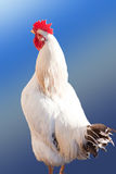 Broiler Rooster Isolated. Royalty Free Stock Photos