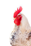 Broiler rooster isolated. Royalty Free Stock Images