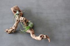Brok die van drijfhout met gezonde groene installaties van secties het groeien plaatste op eenvoudige grijze steenachtergrond stock fotografie
