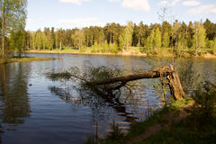 Broken, but alive birch Stock Photo
