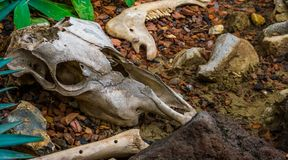 Broken animal skull with bone and jaw, the remains of a herbivorous mammal. A broken animal skull with bone and jaw, the remains of a herbivorous mammal royalty free stock images