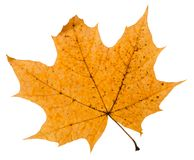 Broken autumn leaf of maple tree isolated. On white background royalty free stock photo