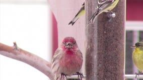Broken-beaked house finch at feeder stock video