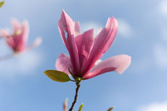 Broken beauty of blooming magnolia flower Stock Photos