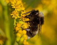 The broken-belted bumblebee Bombus soroeensis Stock Photo