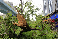 Broken big tree. At beijing time 3:05 am on september 15, 2016, no. 14 typhoon  meranti landed in xiamen city. landing intensity level (48 m / s, 15 degree ) was Royalty Free Stock Image