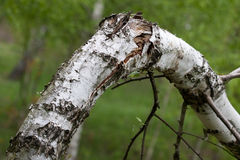 Broken birch Royalty Free Stock Images