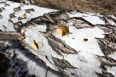 Broken birch tree. In spring forest Royalty Free Stock Photography