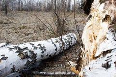 Broken birch tree. In spring forest Stock Photos