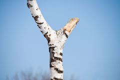 Broken birch tree Stock Image