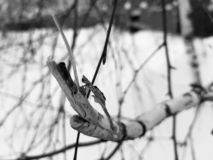 Broken branch of a small birch royalty free stock images